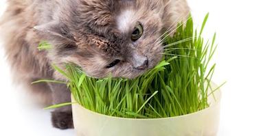 Why Do Cats Eat Grass? | Glen Iris Vet